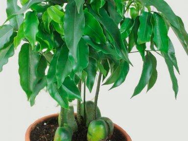 Выращивание каштана в домашних условиях