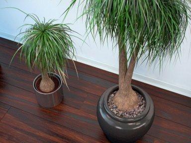 Декоративные деревца и пальмы в домашних условиях