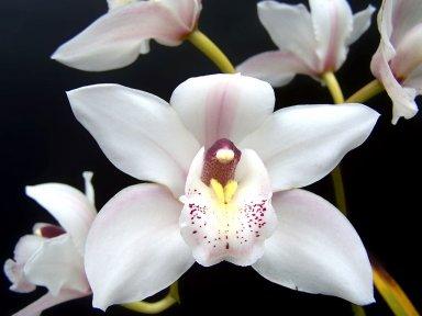 Орхидея. Содержание и уход в домашних условиях.