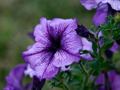 Петуния - любимый цветок