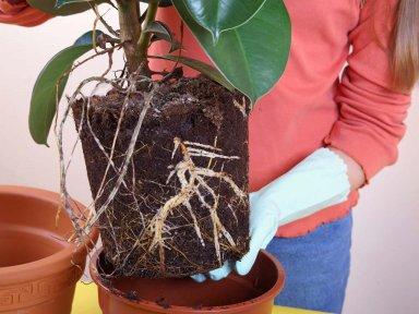 Пересадка фигового дерева (смоковницы)