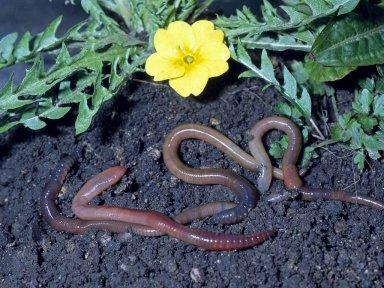 Дождевые черви - помощники садоводов.