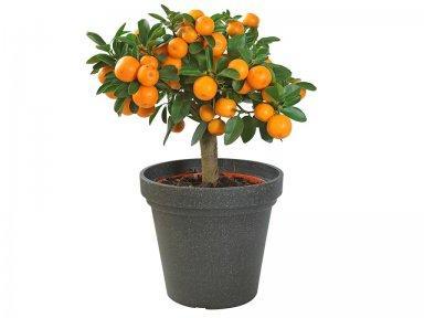 Какие цитрусовые растения можно выращивать в домашних условиях