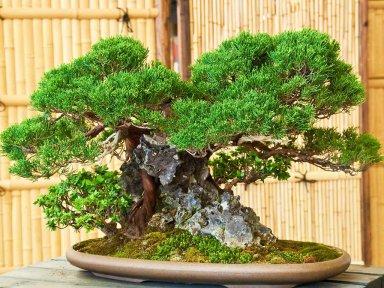 Выращиваем деревце Бонсай