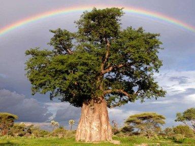 Баобаб – Африканский Титан